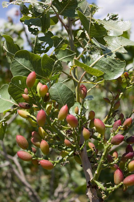 albero-di-pistacchio