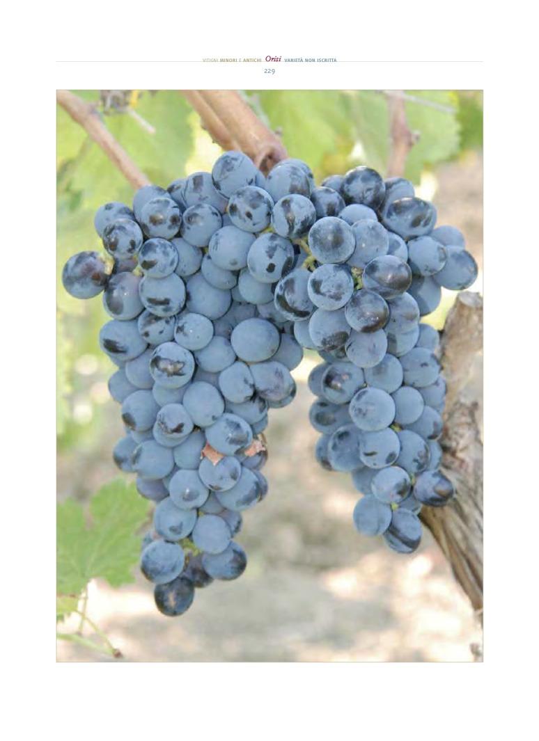 grappolo orisi, un altro dei vitigni reliquia siciliani