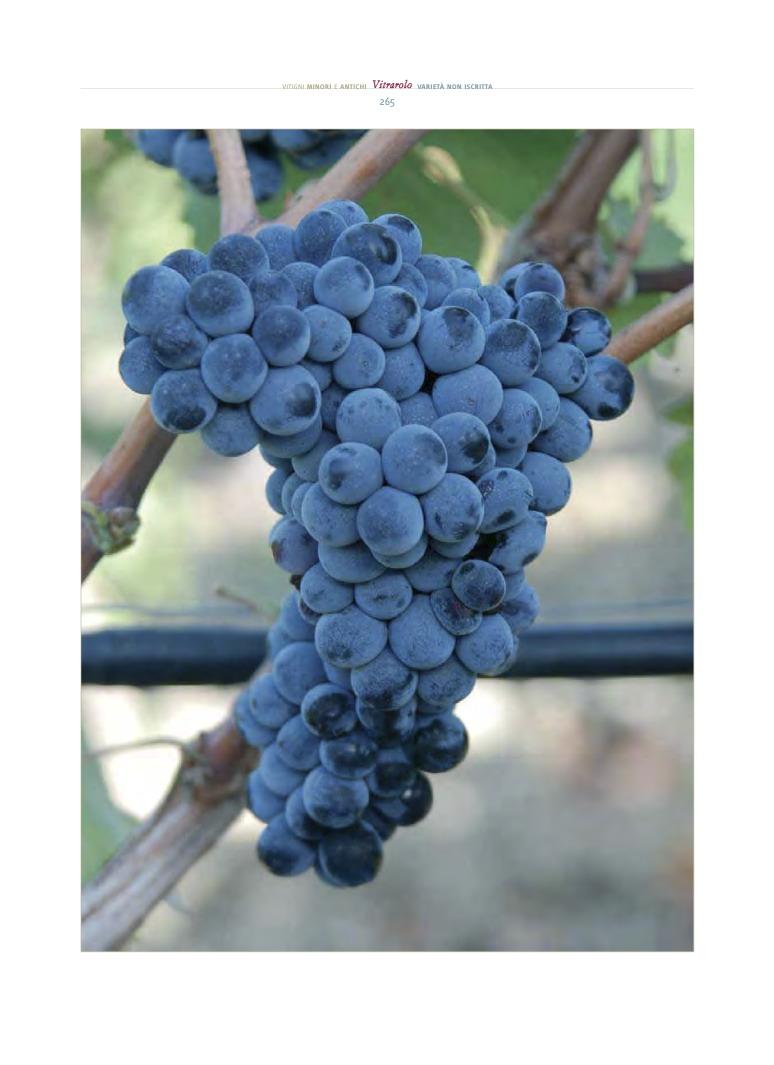 vitrarolo, , uno dei vitigni reliquia siciliani