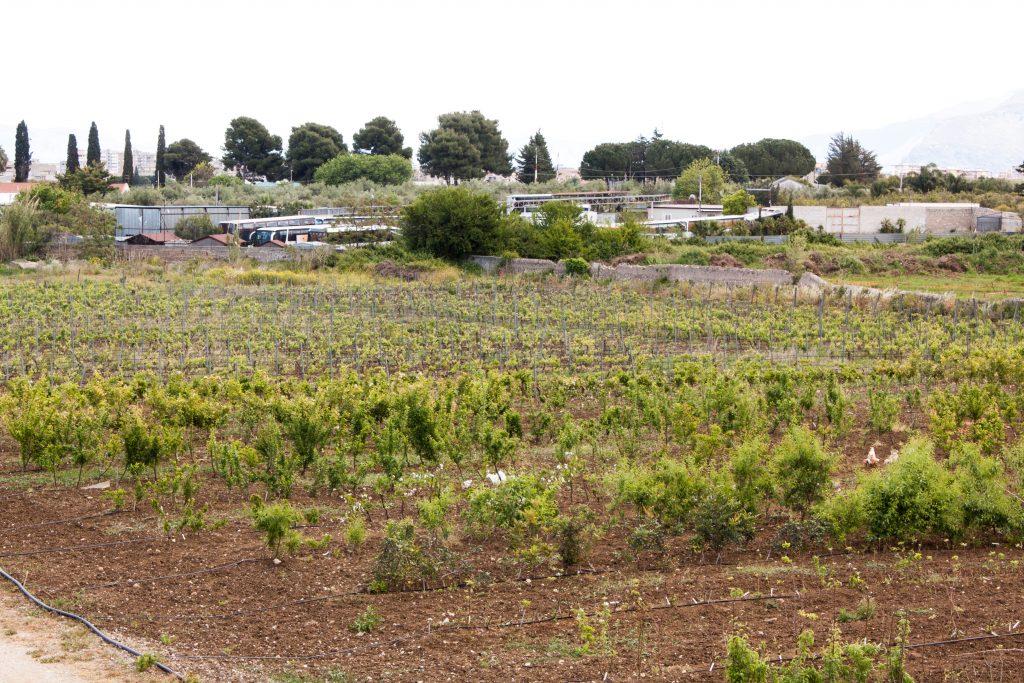 Campi del vivaio Paulsen - alberi da frutto e viti