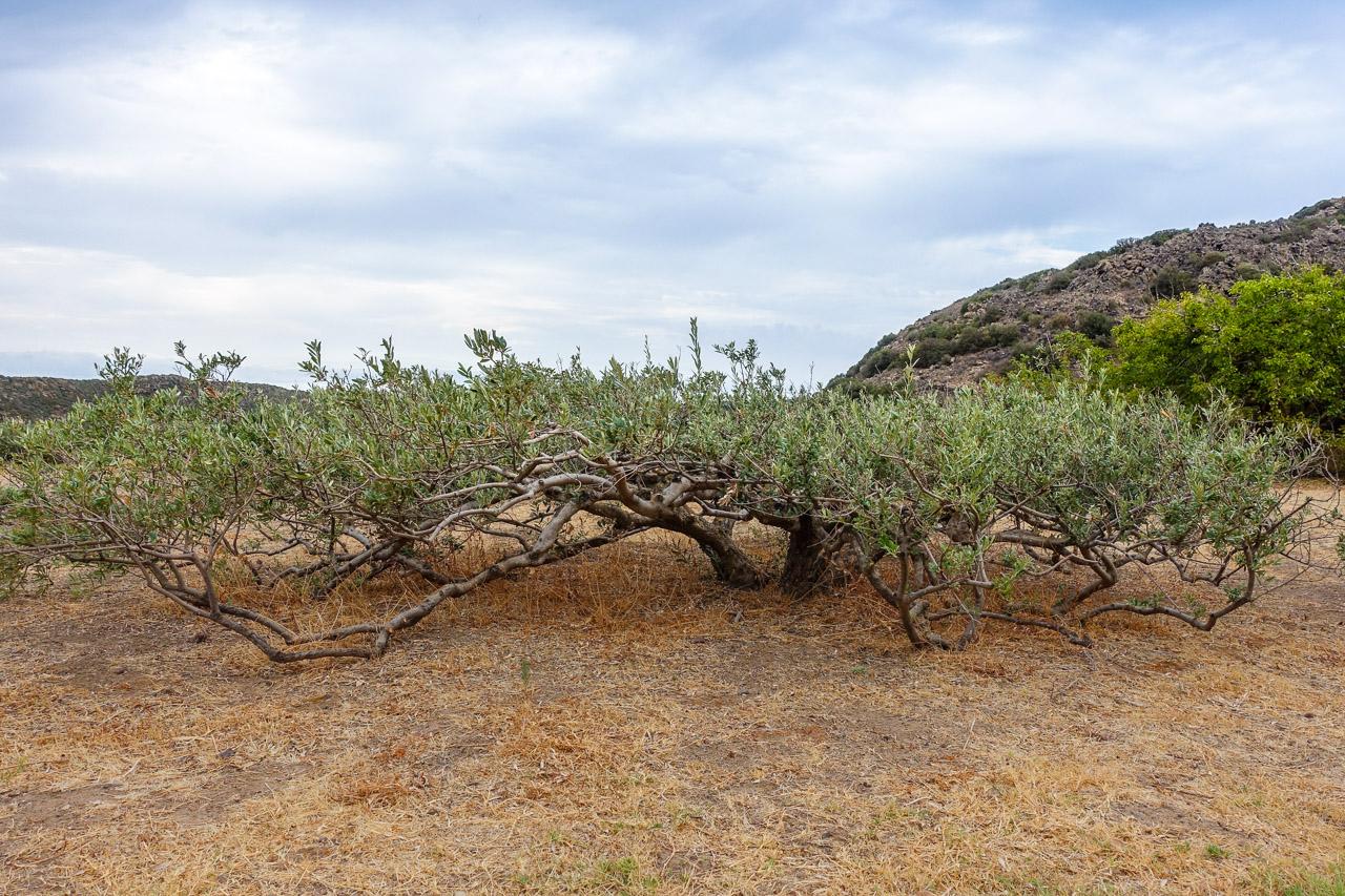olivo pantesco